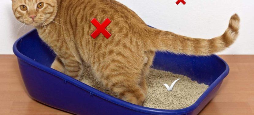 kissan hiekkalaatikko – Eläinkoulutus