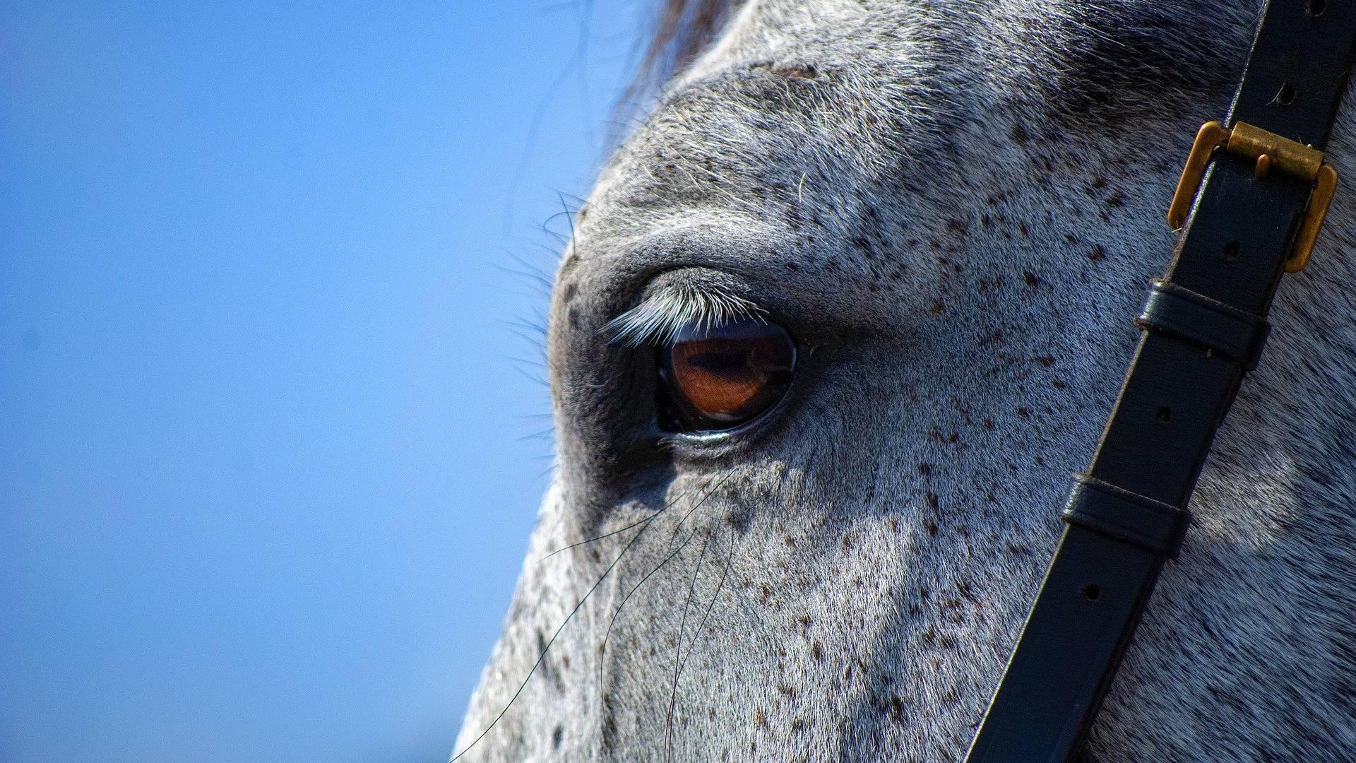 hevonen pukittaa