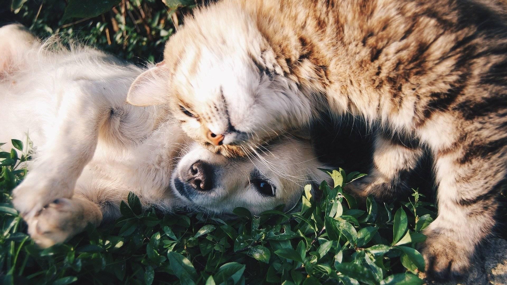 koiran ja kissan tutustuttaminen