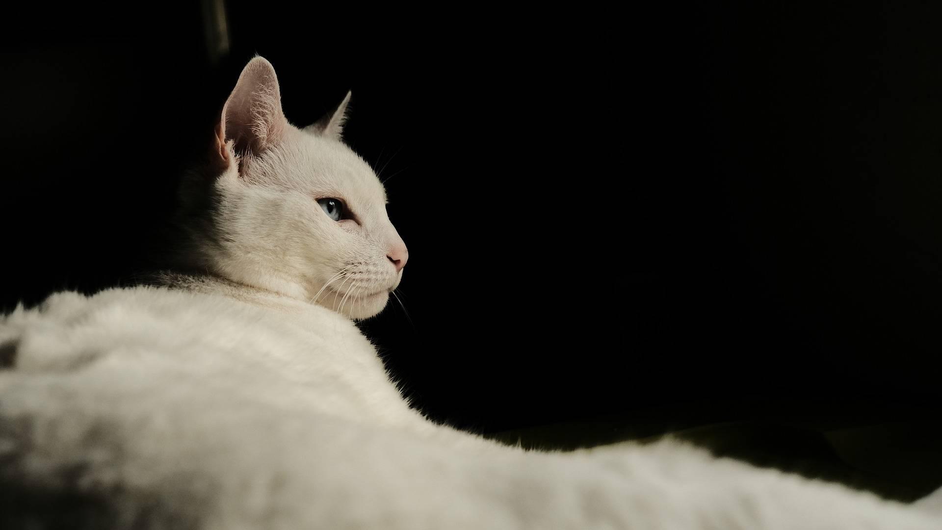 aran kissan kesyttäminen