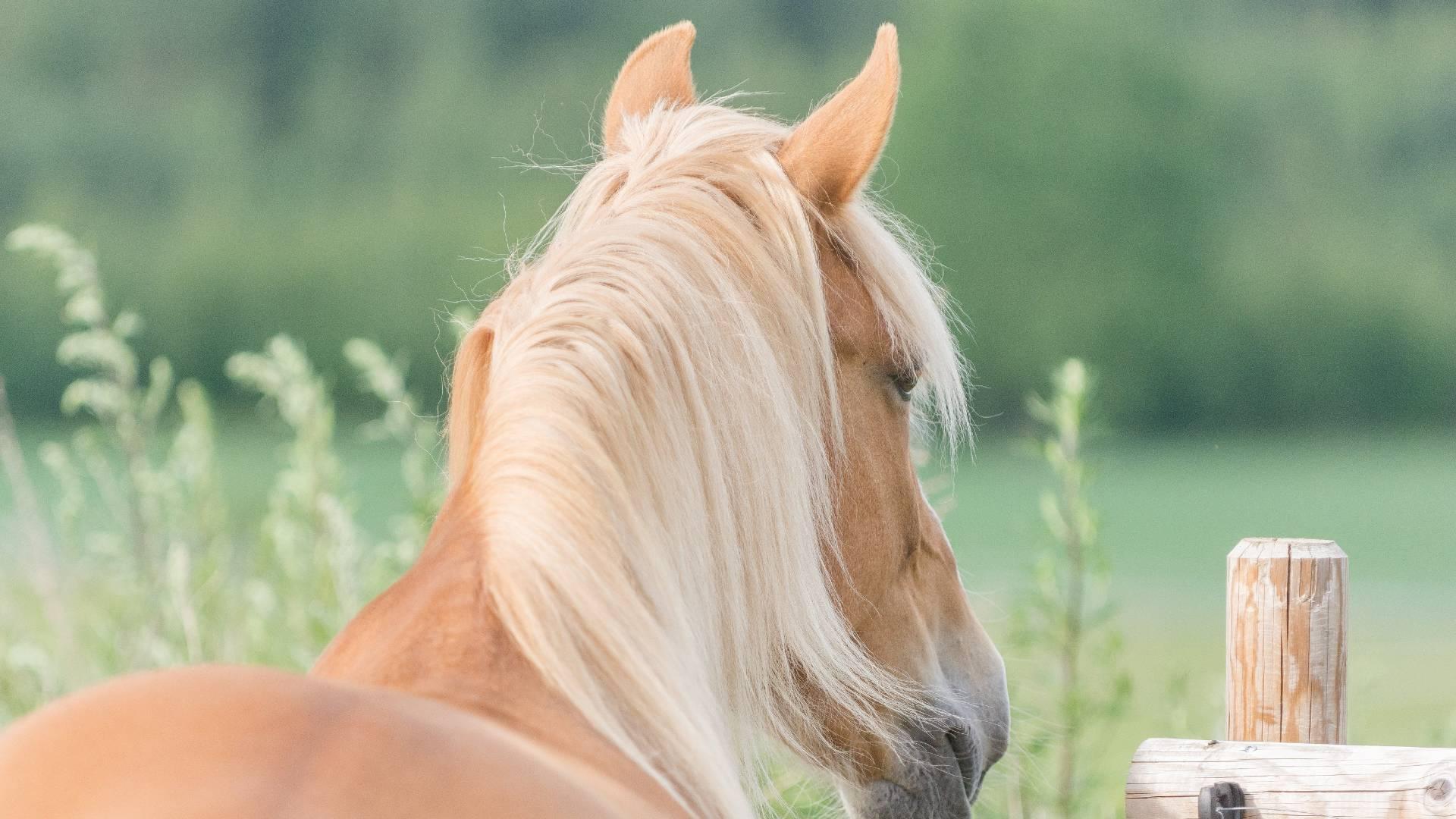 hevonen pureskelee