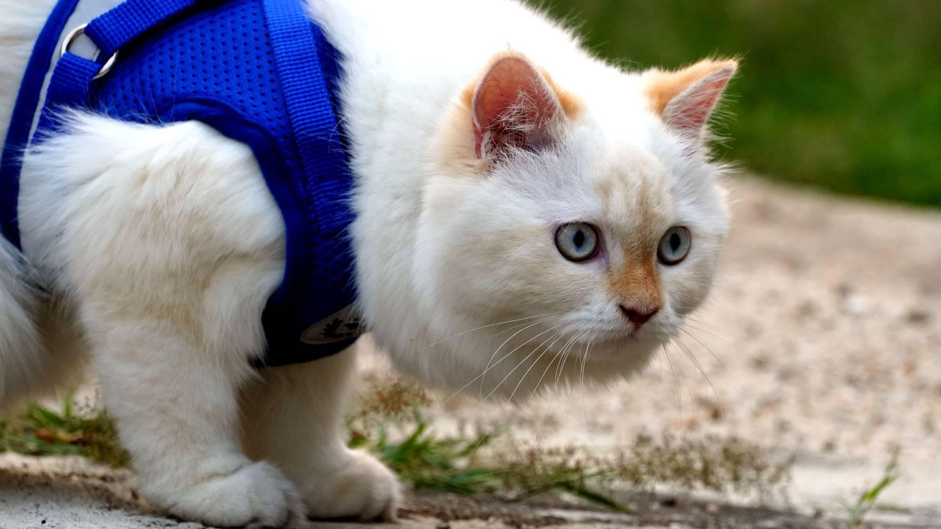 kissan ulkoilutus
