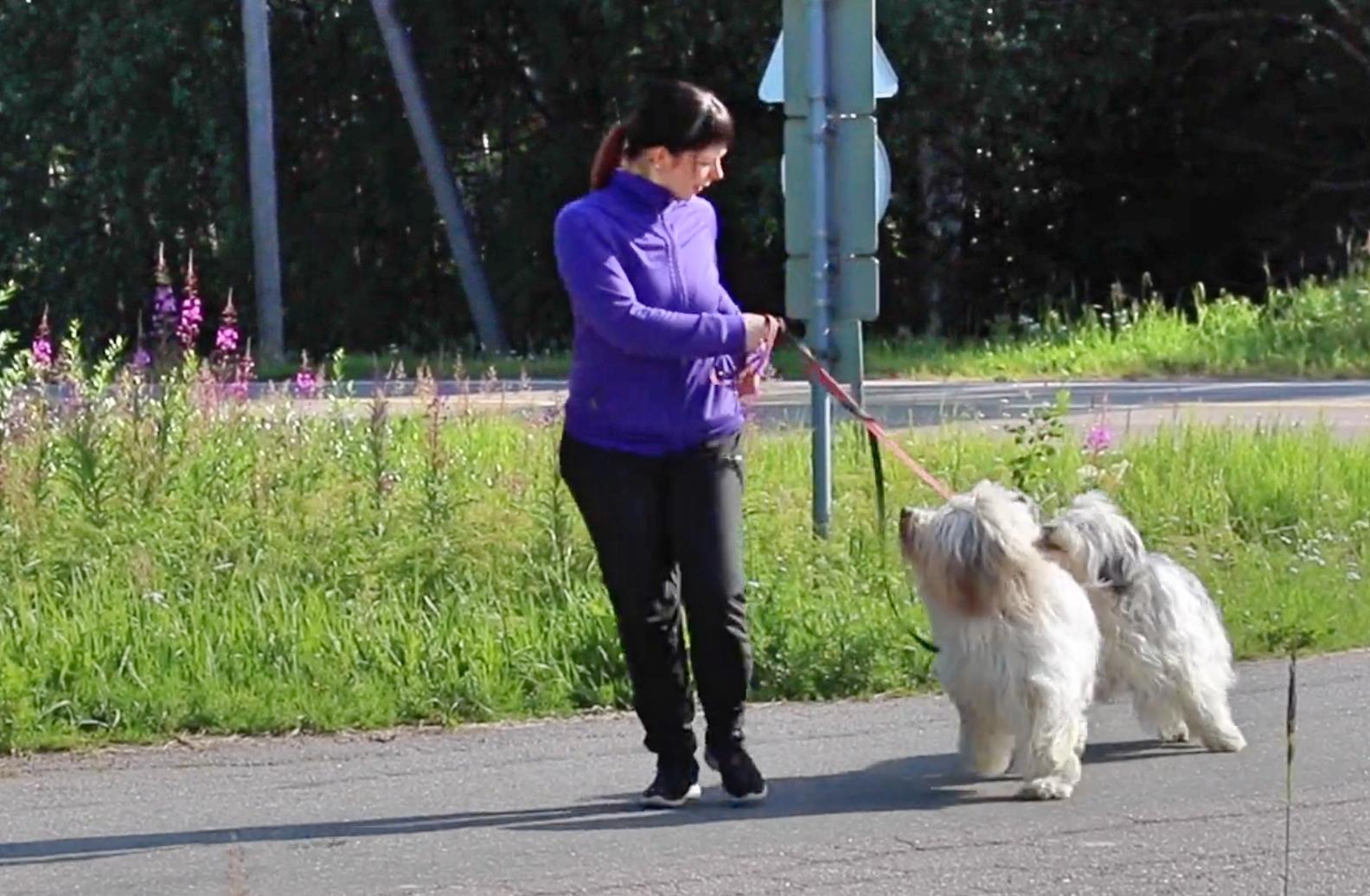Koiran Lenkitys