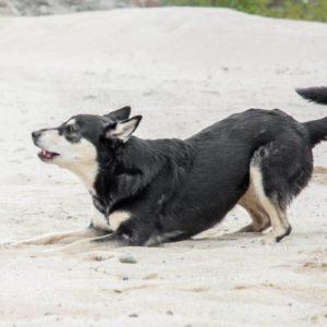 haukunestopanta aiheuttaa stressiä koiralle