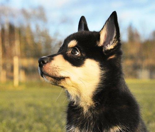 koiranpennun koulutus
