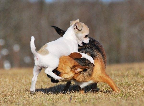koira hyökkää toisen kimppuun